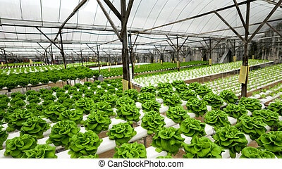 Food production in hydroponic plant, lettuce - Food ...