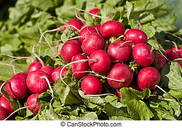 food series: freshly grown spring red radish