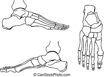 Foot bones on white background