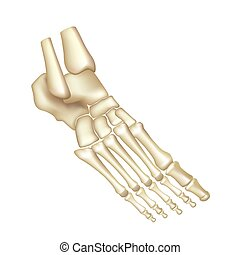 Foot bones isolated on white vector