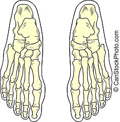 Foot bones on white background