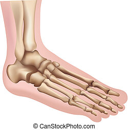 Foot - Illustration of the Foot