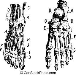 Foot, Fig 1. Muscles, Fig 2. Skeleton, vintage engraving.
