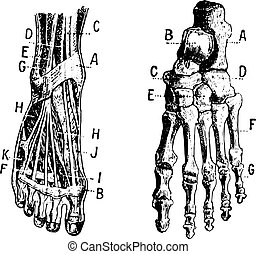 Foot, Fig 1. Muscles, Fig 2. Skeleton, vintage engraving. -...
