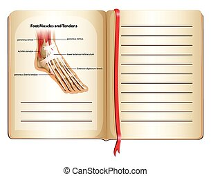 Foot muscles and tendons on page