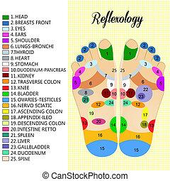 Foot reflexology chart - illustration of reflexology