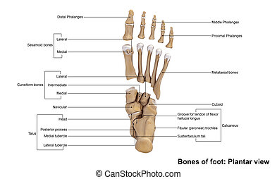 Foot - These include the three cuneiform bones, the cuboid...