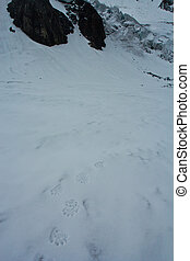 Foot track of the bear on the glacier in snow high mountains