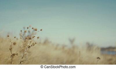 closeup dry grass nature background - Footage closeup dry...