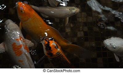 Footage fish in a big aquarium closeup. Slow motion 120 fps.