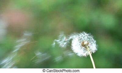 Footage Flying dandelion seeds. 4k