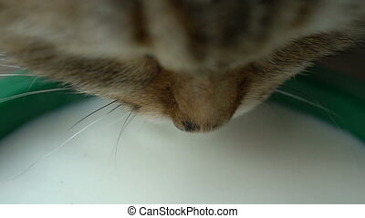 footage ginger cat drinking milk close up. Slow motion...