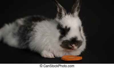rabbit or bunny on black background - footage little rabbit...