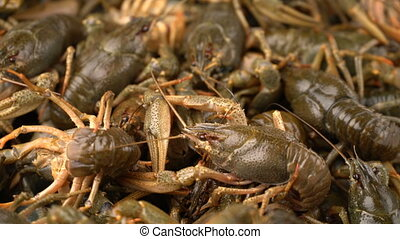 Footage live crayfish close-up rotate on a tray. 4k video