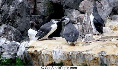Footage of arctic birds sitting on rock - Video of arctic...