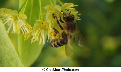 A bee gathering nectar from a Linden tree blossom. Closeup honeybee, slow motion footage. Macro view of summer nature. Spring in slowmo
