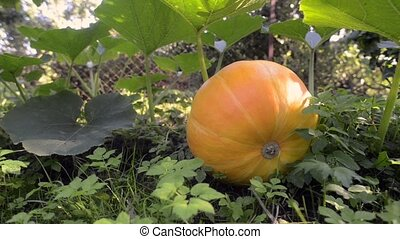 big pumpkin ripening - footage of big pumpkin ripening on...