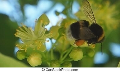 Footage Of Bumblebee On Linden Tree Blossom - A bumblebee...