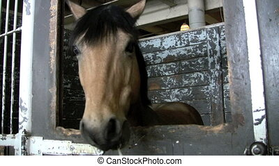 eating straw - footage of horse eating straw in stall
