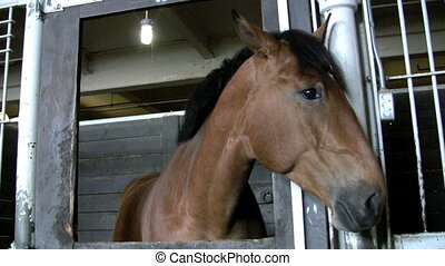 twitching ears - footage of horse twitching ears in stall