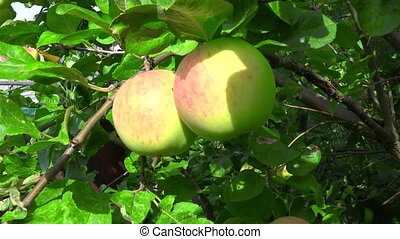 Footage of ripen apples hanging on the tree in sunny day - ...