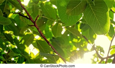 Footage of some fresh green leaves on a tree blown by the...