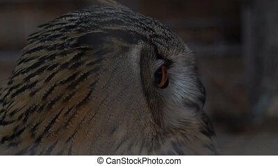 Footage Owl close up portrait. Slow motion 120 fps hd video