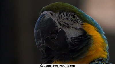 footage portrait of a parrot close up. slow motion 120 fps