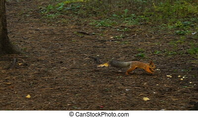 footage squirrel runs along the ground in the park. HD 120 ...