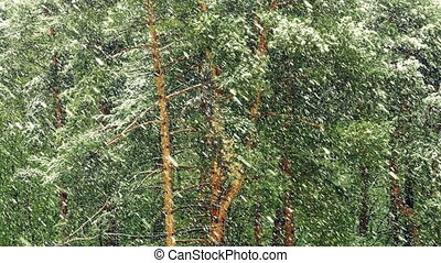 footage., tempête neige, fhd, neige, pin, forest., stockage