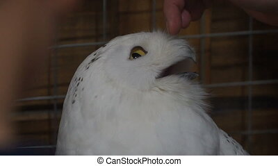 footage Woman stroking a white owl. slow motion 120 fps. hd...