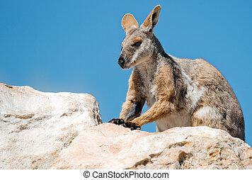 footed, rocha, amarela,  wallaby