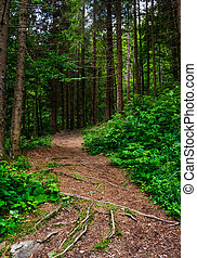 footpath in ancient coniferous forest. lovely nature scenery...