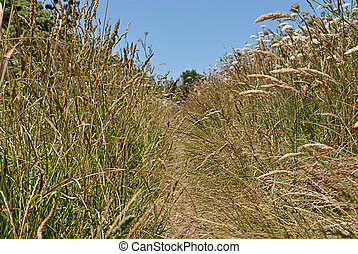 footpath in field with tall grass