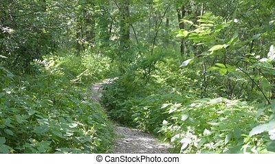 Footpath in green summer forest with lush green foliage...