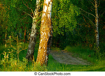 Footpath in the birch grove.