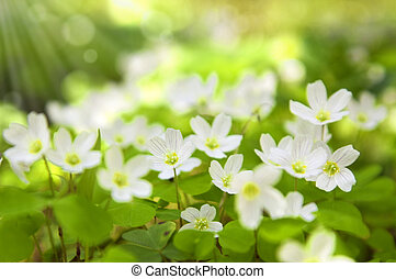 forår blomstrer, ind, skov