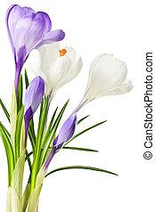 forår, crocus, blomster