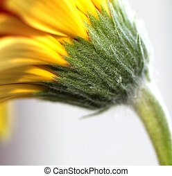 forår, daisiy