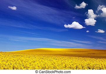 forår, felt, i, gul blomstrer, rape., blå, solfyldt, sky., landskab, baggrunde