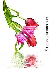 forår, isoleret, baggrund, tulipaner, hvid blomstrer
