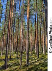 forêt, été, pin