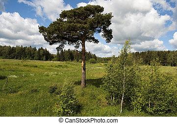 forêt arbre, clairière, pin