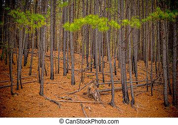forêt, arbres pin