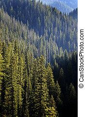 forêt, arbres, pin