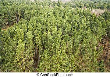 forêt, arbres verts