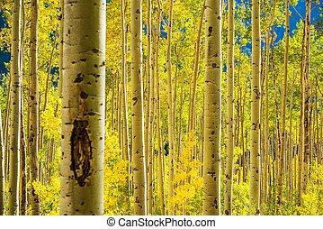 forêt aspen, arbres