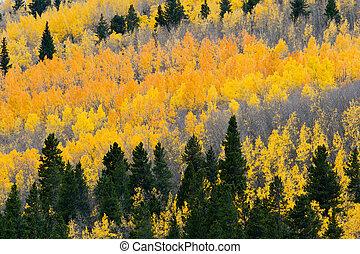 forêt aspen, coloré, automne