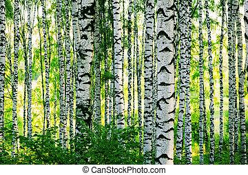 forêt, bouleau