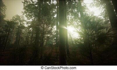 forêt, brumeux, coucher soleil, séquoia, paysage